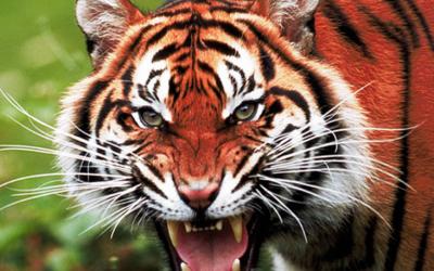 Красная тигрица